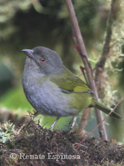 Dusky-bush Tanager